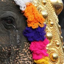 Cruelity on Temple Elephants Award wining documentary to be screened in Delhi